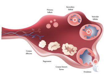 Ovulation process in an ovary