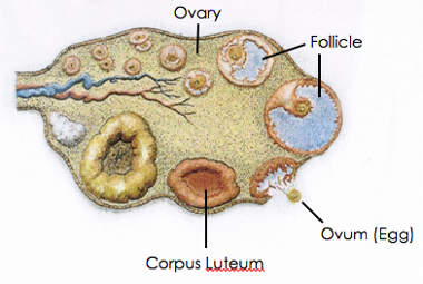 Process of ovulation in an ovary
